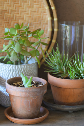 succulents on the potting bench