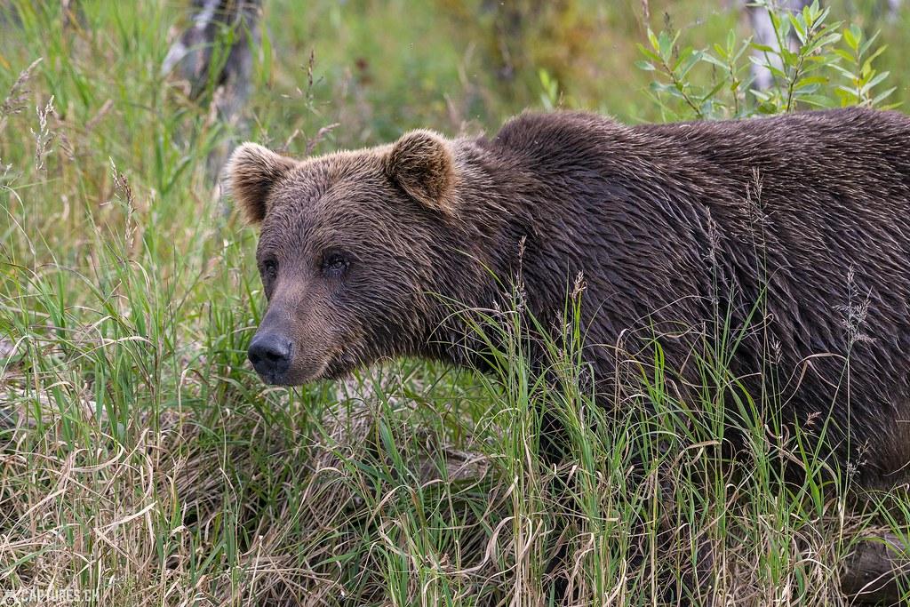 Bear head - Alaska