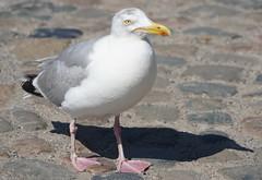 Sea Gulls at Veere (13)