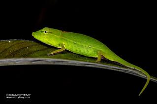 Perinet chameleon (Calumma gastrotaenia) - DSC_8615