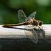 Common darter at rest on wooden railing