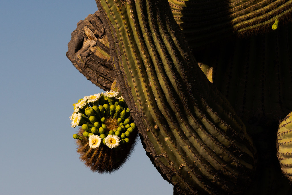 The arms of a saguaro twist and turn with the ends of one covered in flowers along one of the off-map trails in McDowell Sonoran Preserve