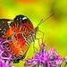 2018.08.11 Butterfly Rainforest Butterfly 5
