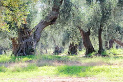 tra gli ulivi 1