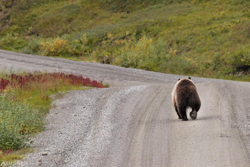 Road runner - Alaska