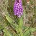 Dactylorhiza sp 1140123