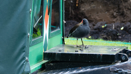 All aboard (moorhen, Newbridge)