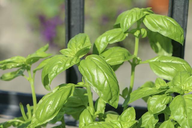 Basilikum Basil homegrown