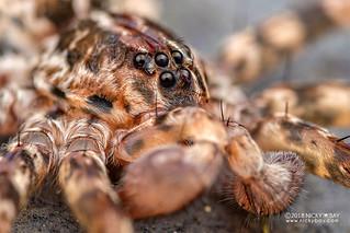 Wandering spider (Vulsor sp.) - DSC_0431b