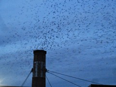 Vaux Swifts descending into Chapman School chimney this evening.