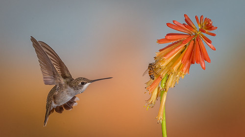 Competing for nectar-3838