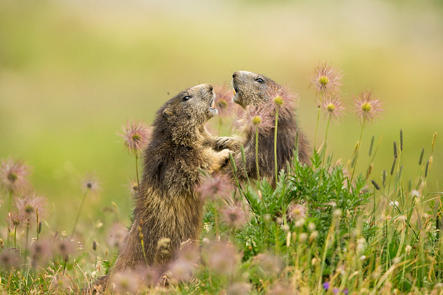 Marmots, Canon EOS-1D X, Canon EF 500mm f/4L IS II USM