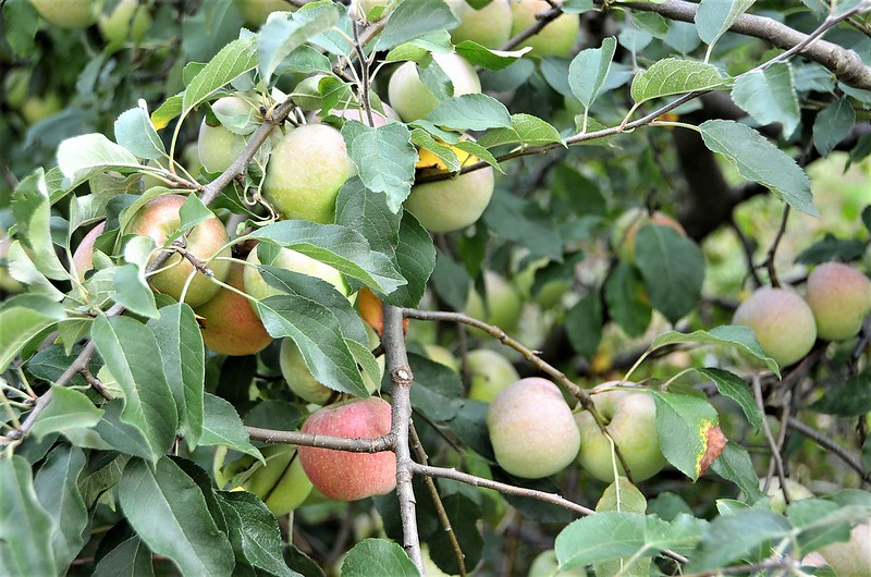 Fiorina Apples 28.08.2018