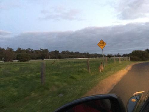 Blurry Roadside Roo