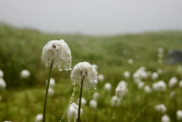 """""""Snow ball"""" wildflowers"""