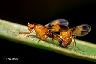 Fruit flies - DSC_2520