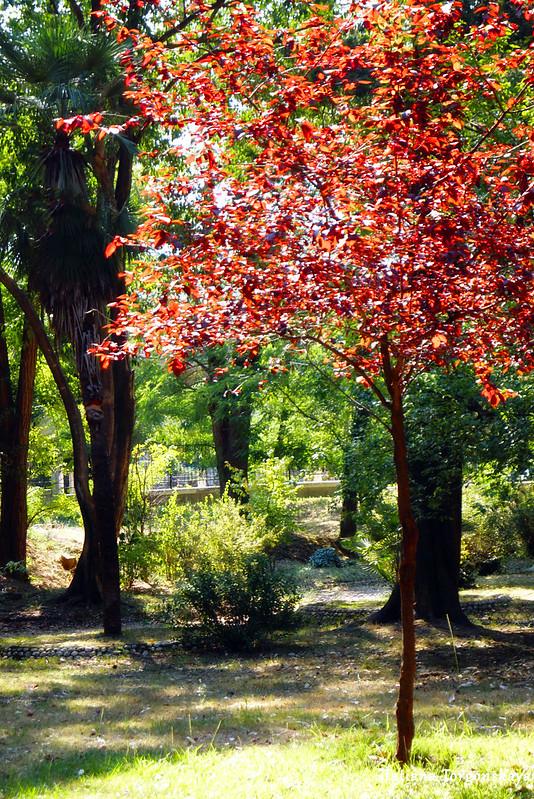 Одно из деревьев с красной кроной в Городском парке