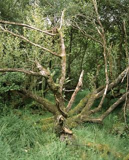 Tree, Killarney