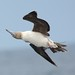Red-footed Booby (Sula sula) by Harpy-Eagle