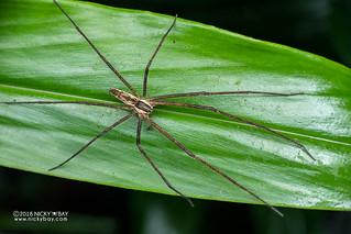 Pisaurid spider (cf. Pisauridae) - DSC_9721