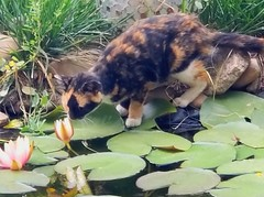 Mama kitty and flower - lilypad