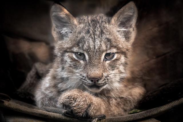 Lynx Kitten in a Hammock