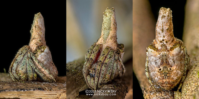 Tree stump orb weaver (Poltys sp.) - DSC_8949x