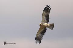 Vuelos de aves (Bird flights). Rapaces y falcónidos (raptors and falcons)
