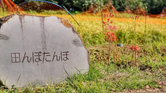 DSC00592-01花菜ガーデンH3009