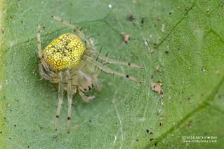 Big-jawed spider (Tetragnathidae) - DSC_2402