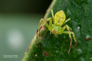Crab spider (Diaea sp.) - DSC_2317