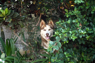 Husky in the trees