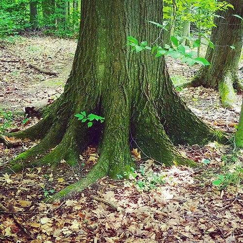 Trunk #KnoxFarm #eastaurora #wny #summer #trees #nature