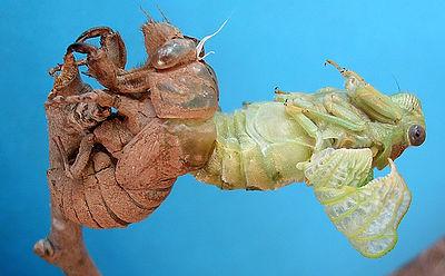400px-Cicada1-06-29_09-27-37