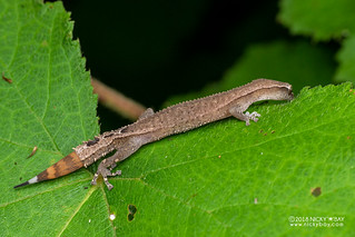 Madagascar clawless gecko (Ebenavia inunguis) - DSC_1753