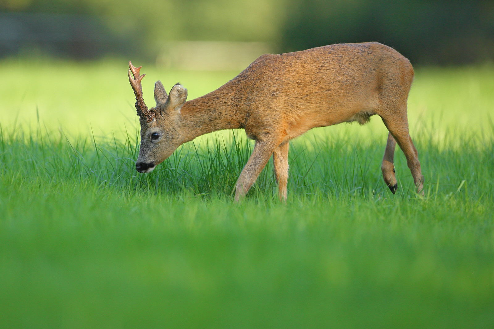 Roe Buck Feeding