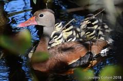 Black-bellied whistling duck family