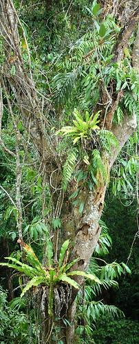 Epiphytes Daintree