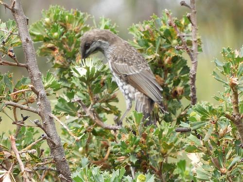 Western Wattlebird, Anthochaera lunulata
