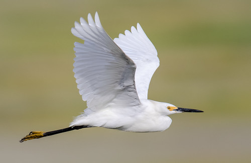 Snowy Egret Fly By