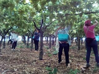 La pulizia dei grappoli dell'uva 'Italia' (1)