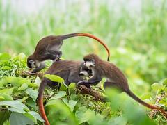 2018,uganda,The Haven, Monkeys