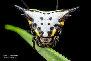 Spiny orb weaver (Acrosomoides acrosomoides) - DSC_9881
