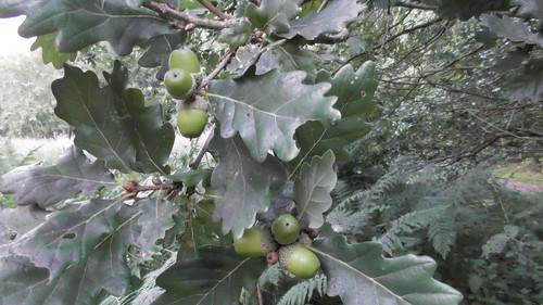 acorns Aug 18