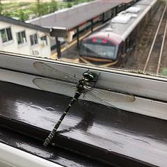 さすが鳴子温泉駅 オニヤンマもいる  dragonfly  トンボ miyagi