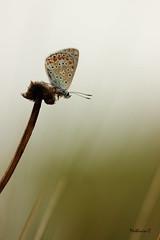 Le grand saut - Polyommatus icarus - Photo of Saint-Loup