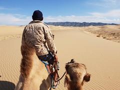 Bactrian camels in the Gobi Desert (1)
