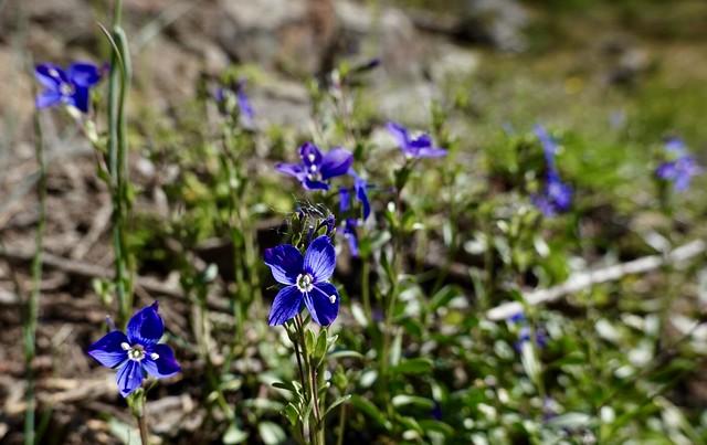 A very blue flower