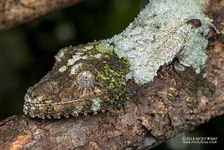 Mossy leaf-tailed gecko (Uroplatus sikorae) - DSC_8425