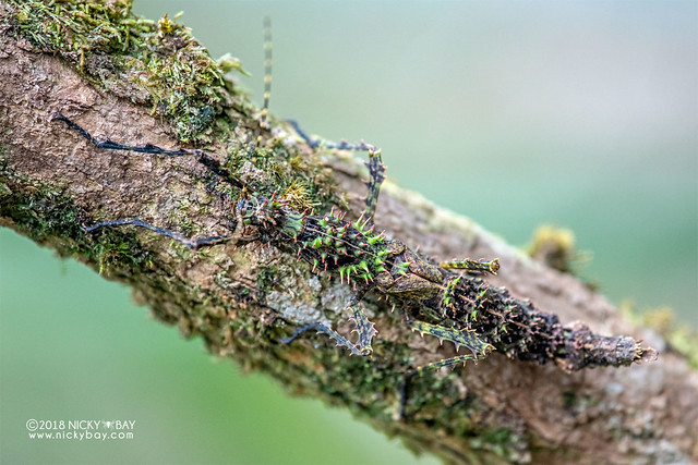 Thorny stick insect (Parectatosoma sp.) - DSC_0322